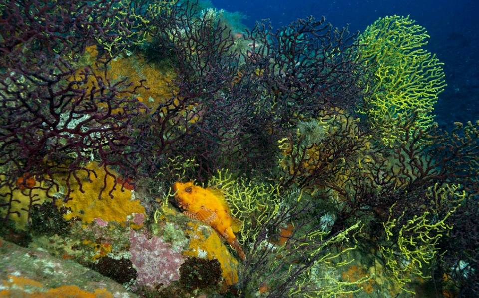 Underwater photo of the corals of the seabed of the Marine Protected Area of Capo Carbonara.